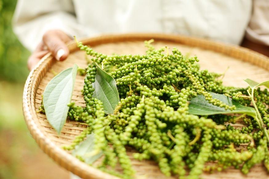 『9月催行予定!クラタペッパー胡椒の植樹ツアー参加者募集中』~五感で体感する!世界一と称されるカンボジアの胡椒の世界~