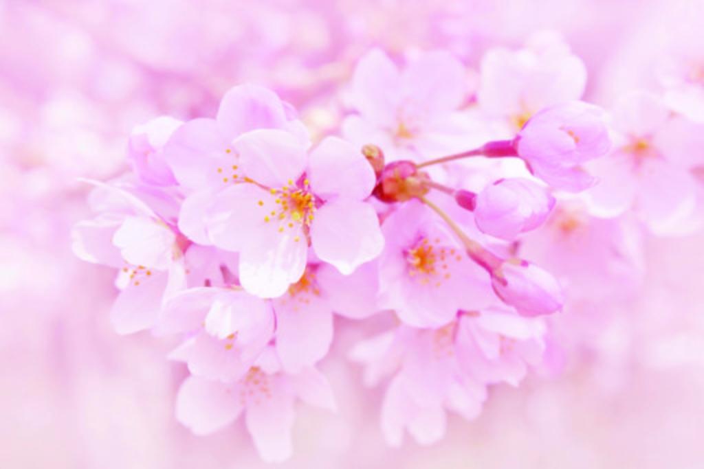 រដូវផ្កា SAKURA រីក (Sakura Zensen) 【Special1】