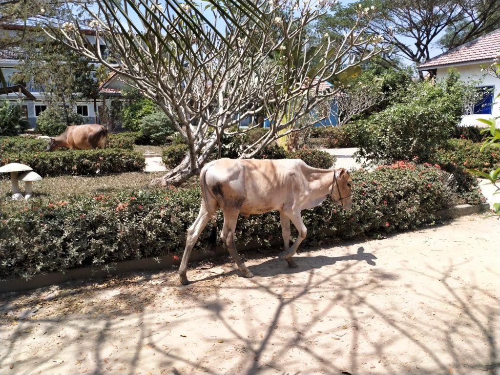 校内を歩き回る牛