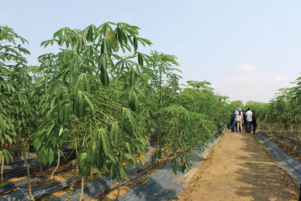 Cassava Farm គម្រោងរបស់ JICA ទៅលើដំណាំដំឡូងមី ក្នុងរយៈ២ឆ្នាំចុងក្រោយ